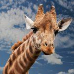 Przykładowa galeria w WordPressie - Żyrafa