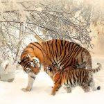 Przykładowa galeria w WordPressie - Tygrysy